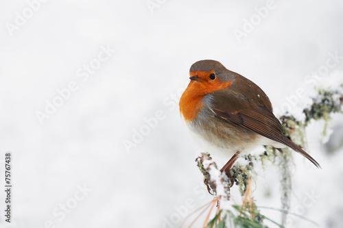 Fotobehang Vogel Robin in the white