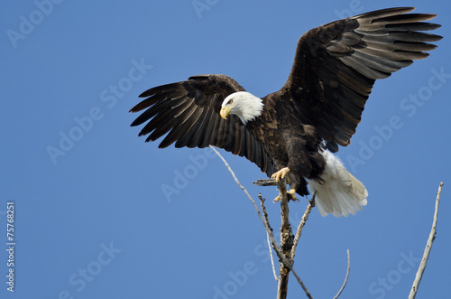 Papiers peints Aigle Bald Eagle Hunting From The Tree Top