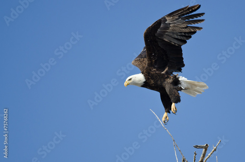 Bald Eagle Diving After Prey