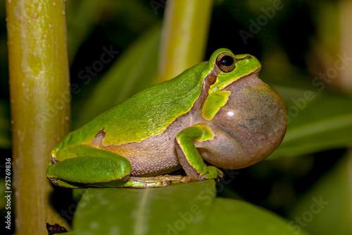 Croaking European tree frog - 75769836
