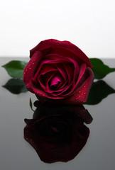 Valentine red rose.