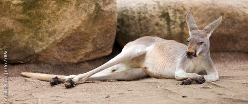 Fotobehang Kangoeroe Red kangaroo