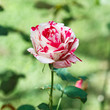 Beautiful rose flower in the garden