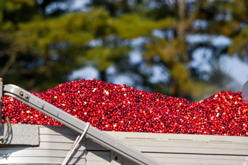 Harvested cranberries in a truck