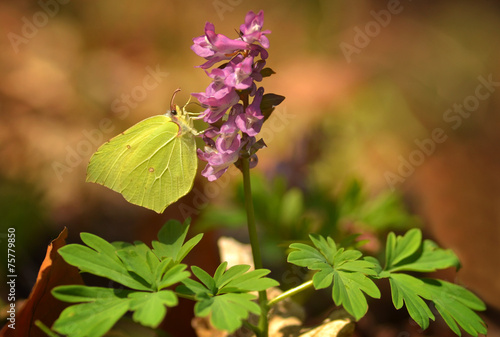 canvas print picture Corydalis solida in Wald und Schmetterling Gonepteryx