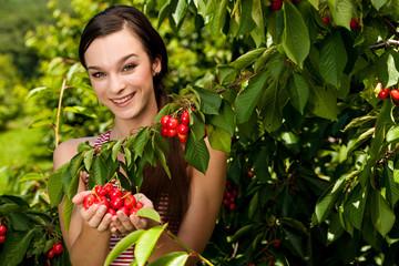 woman harvesting cherries in late spring - cherry harvest