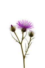 thistle - vertical