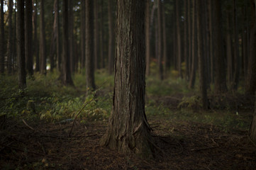 Cypress forests
