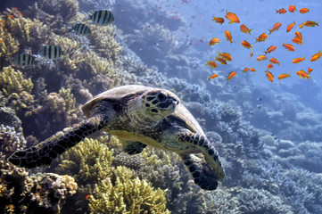 Tropical fish and turtle in the Red Sea