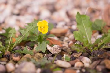 Yellow viola blooming between pebbles