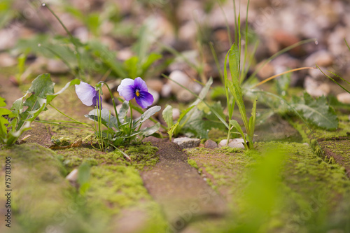 Staande foto Pansies Viola blooming between red flemish brick pavement