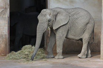 African elephant to eat hay and grass