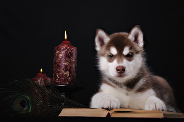 puppy husky and book