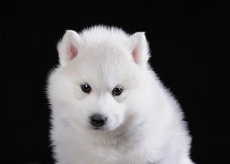 Портрет милого щенка хаски