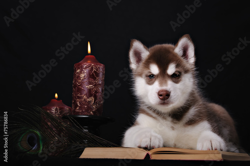 Spoed canvasdoek 2cm dik Pauw puppy husky and book