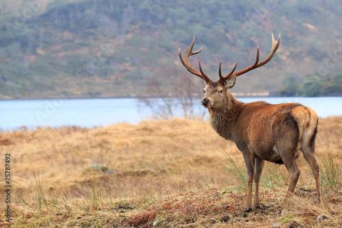 Spoed canvasdoek 2cm dik Hert Reindeer, standing in the forest