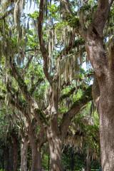 Spanish Moss Draped Oaks in Savannah