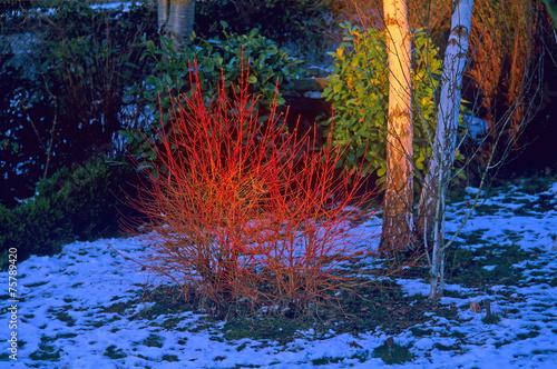 Cornouiller sanguin 'Winter Flame' en Hiver - 75789420