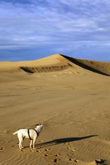 Le chien seul sur la dune du Pilat