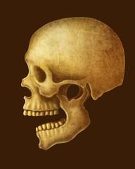illustration of Human Skull.