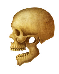 illustration of Human Skull.