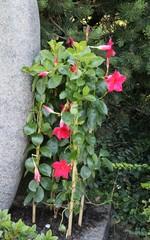 Grabbepflanzung - Kletterpflanze neben Grabstein