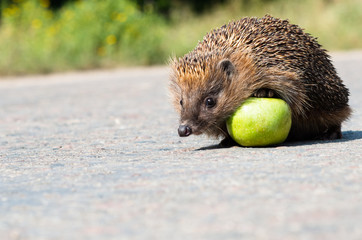 Hedgehog with green apple on the road.