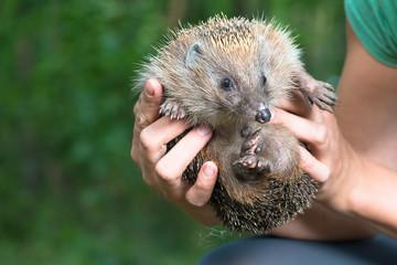 hedgehog in human hands