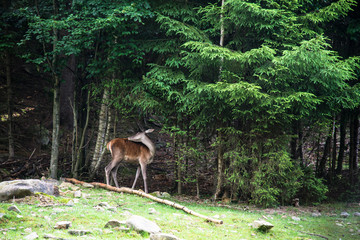 A female deer grazes in woodland