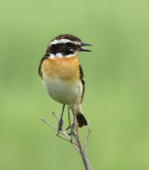 Whinchat on the branch