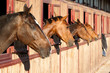 Horses in their stable - 75794875