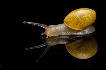 Escargot à coquille jaune