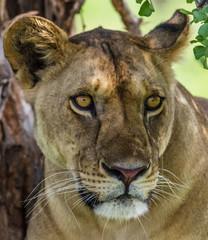 Portrait de lionne magnifique