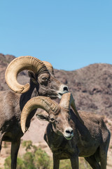 Pair of Desert Bighorn Sheep Rams