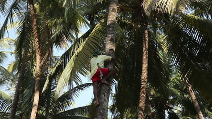 Indian man climbing a palm tree for harvest coconut.