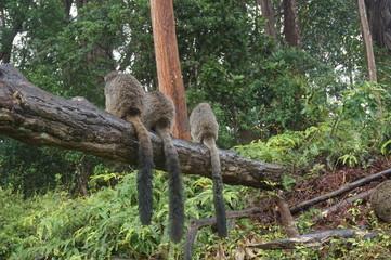 The back of Madagascars - three 'backs' of Lemurs