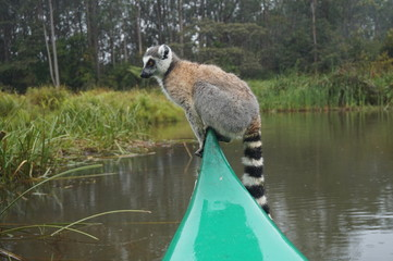 Lemur driving a boat