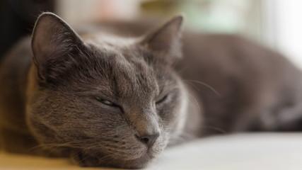 gray cat sleeping on window, closeup video
