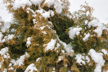 Snow on a thuja branches