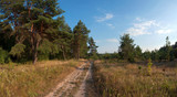 road near the pine trees panorama
