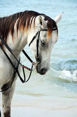 White horse portrait on the beach , Hua-Hin ,Thailand
