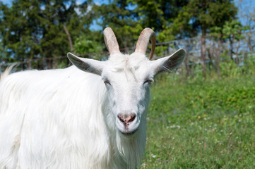 White goat looking