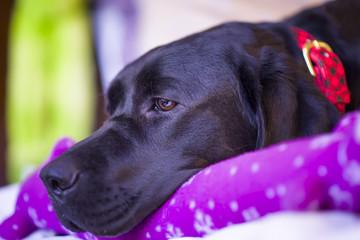 Labrador Retriever Resting With Her Christmas Toy