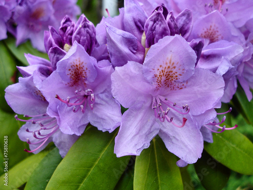 Tuinposter Azalea Close up view of purple flowers of rhododendron