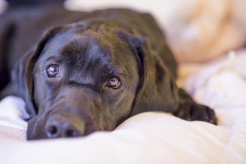 Labrador Retriever Resting Peacefully