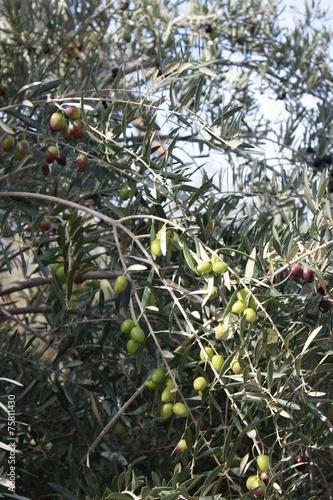 Tuinposter Olijfboom Grüne & Große Oliven
