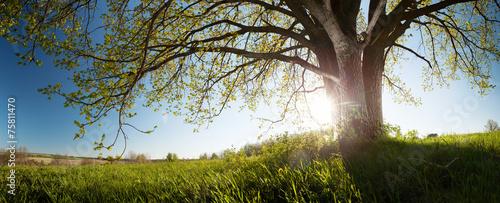 Oak tree - 75811470