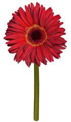 Red gerbera flower drawing