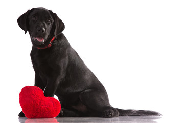 A lover valentine puppy dog with a red heart isolated.