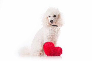 Lover valentine havanese puppy dog with a red heart isolated.
